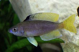 Black Cichlid With Yellow Fins | www.pixshark.com - Images ...