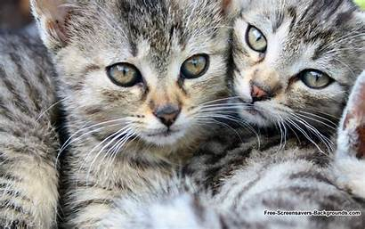 Screensavers Wallpapers Cats Screen Backgrounds Animal Wide