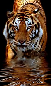 [42+] Tiger iPhone Wallpaper on WallpaperSafari