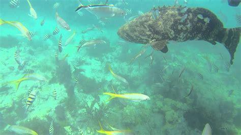 grouper goliath attack