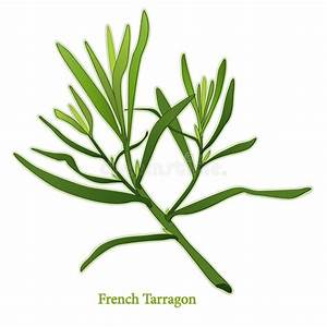 Fresh French Tarragon Herb stock vector. Image of fines ...