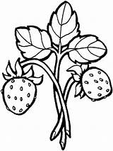 Coloring Strawberry Pages Berries sketch template
