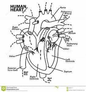 pulmonary circulation coloring page sketch coloring page With heart diagram