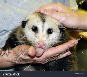 Pet Opossum | www.pixshark.com - Images Galleries With A Bite!