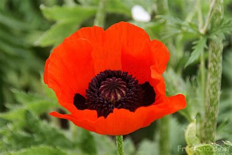 poppy pictures free use red poppy pictures free use image 807 13 9351 by freefoto com