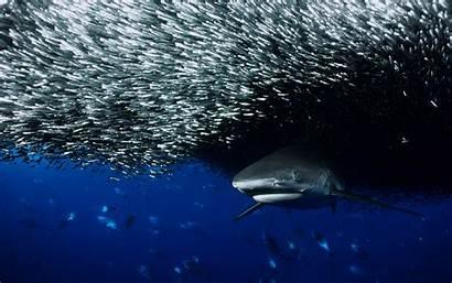 Fish Sharks Shark Backgrounds Ocean Wallpapers Myspace