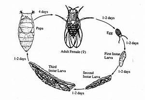 Genetics Of Drosophila