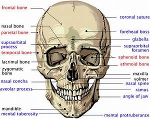 Cranial Bones In Detail Flashcards By Proprofs