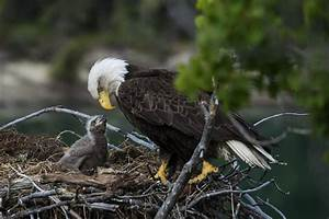 Bald Eagles Feed Cat to Eaglets on Cam: Video | Time