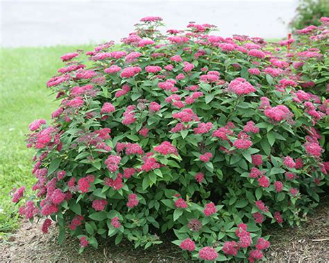 Colorchoice Flowering Shrubs From Proven Winners