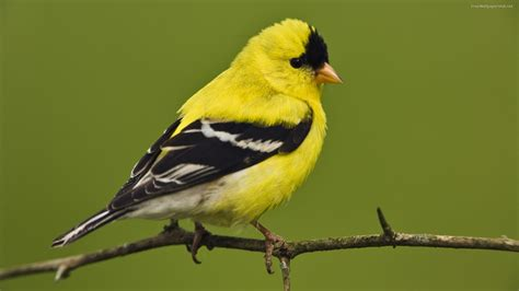 pictures world yellow birds wallpapers