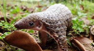 Protecting the pangolin – Can name recognition save ...