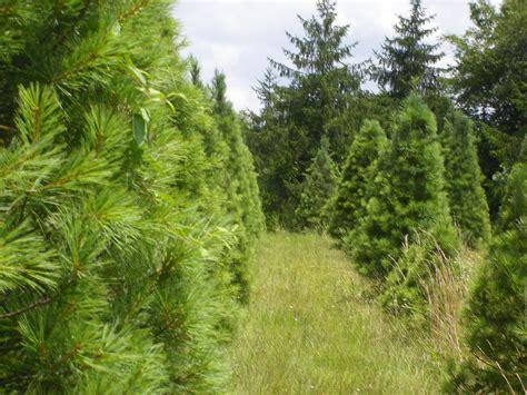 thomasville pine christmas tree trees pinetop farm trees and blueberries