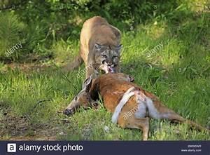 Am Aas - On Carcass Mit Beute - With Prey Puma Pumas Felid ...