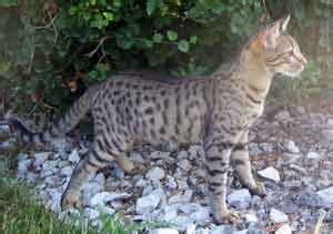Savannah Cat Breeders  Savannah Cats, Bengal Cats For Sale