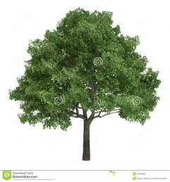 american oak tree isolated royalty free stock images image 34044989