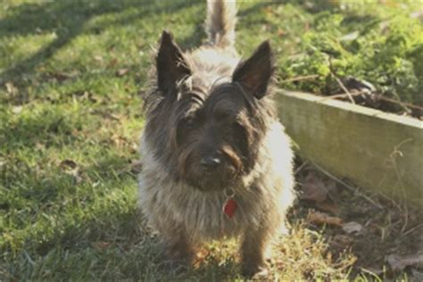 Cairn Terrier Shed Hair by Terrier Breeds That Don T Shed Are For A Neat