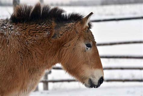 extinct horses wild study artdaily horse