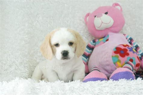 Cashmere Peagle Rockin R Puppies