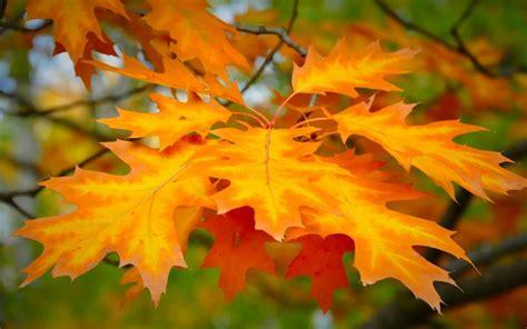 Orange Leaf Wallpaper by Free Best Pictures Orange Maple Leaf Pictures Orange