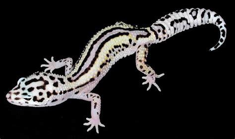 leopard gecko colors pastel information