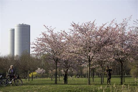 Uzvaras parkā Rīgā uzziedējušas sakuras; pulcēšanās ...