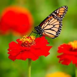 Imagenes De Mariposas Monarcas