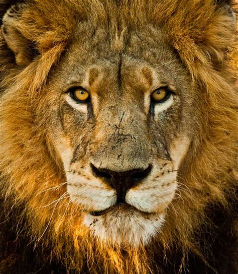 Leo Artwork by Male Lion Portraits A Gallery On Flickr