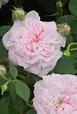 Rosa 'Queen of Denmark' = 'Konigin von Danemark' (19th C ...