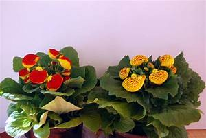 Plants & Flowers » Calceolaria herbeohybrida