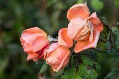 Rosenrost Bekämpfen Hausmittel : blattl use an rosen vorbeugen und bek mpfen ~ Lizthompson.info Haus und Dekorationen