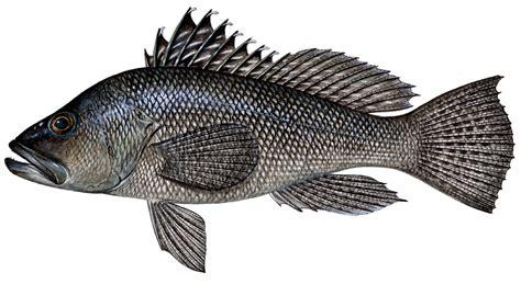 sea bass fish sea bass in costa rica sportfishing costa rica fishing quepos jaco boats yacht sailing