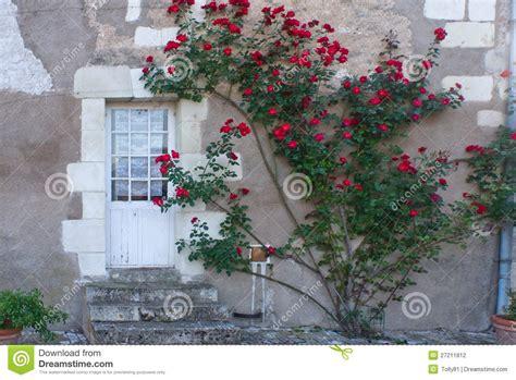 climbing rose bush  france stock photo image