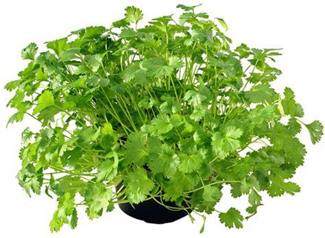 How To Grow Cilantro  Coriander  Herb Gardening Guide