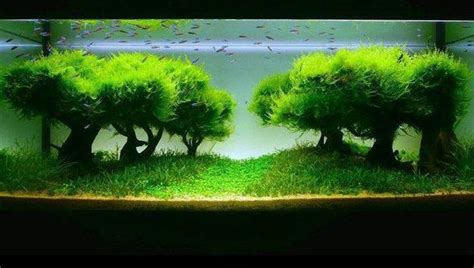 moos für aquarium java moss care tips moss carpets moss trees aquarium info