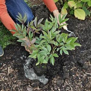 Endiviensalat Pflanzen Setzen : pfingstrose p onie pflanzen pflege und tipps mein sch ner garten ~ Whattoseeinmadrid.com Haus und Dekorationen