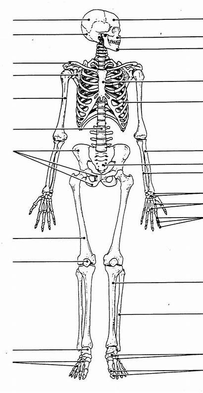 Human Skeleton Diagram Skeletal System Skull Worksheet