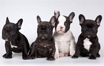 Bulldog French Puppies Background Desktop Wallpapers Bulldogs