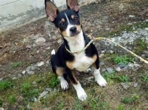 dogs mixed breeds very small dog breeds australian dog