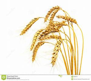 Wheat clipart wheat crop - Pencil and in color wheat ...