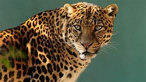 Wallpaper jaguar, wild, cat, face, Animals #10237