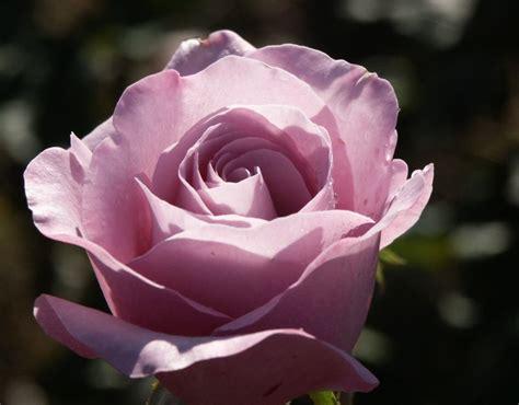 neptune rose purple rose blue hybrid tea rose