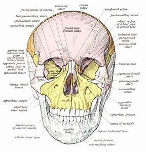 There Are 29 Bones  Hyoid Included  In The Human Skull