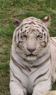 Fun Facts - White Tigers