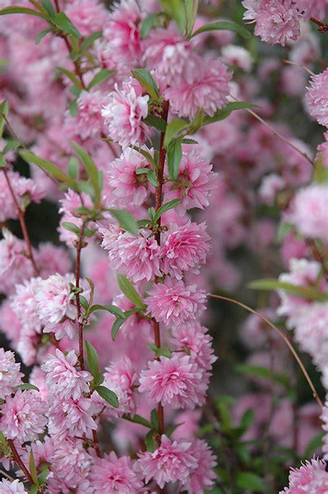 flowering almond pink double prunus glandulosa rosea plena flowers plants plant massachusetts boston