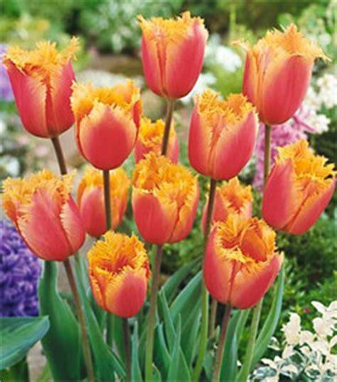 tulip bulbs item 1803 fringed tulip fringed lambada