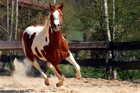 horse breeds barrel racing paint horses thoroughbred human shoes run thoroughbreds