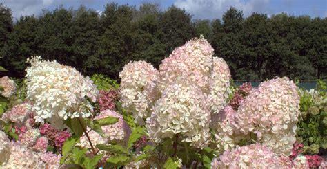 eichenblatt hortensie schneiden hortensien richtig schneiden hortensientr 228 ume