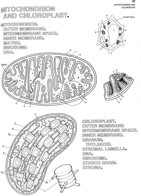 mitochondria  chloroplast coloring school biology classroom ap biology biology