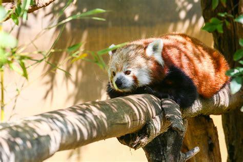 zoo diego san california panda zoos tree sd map beaches
